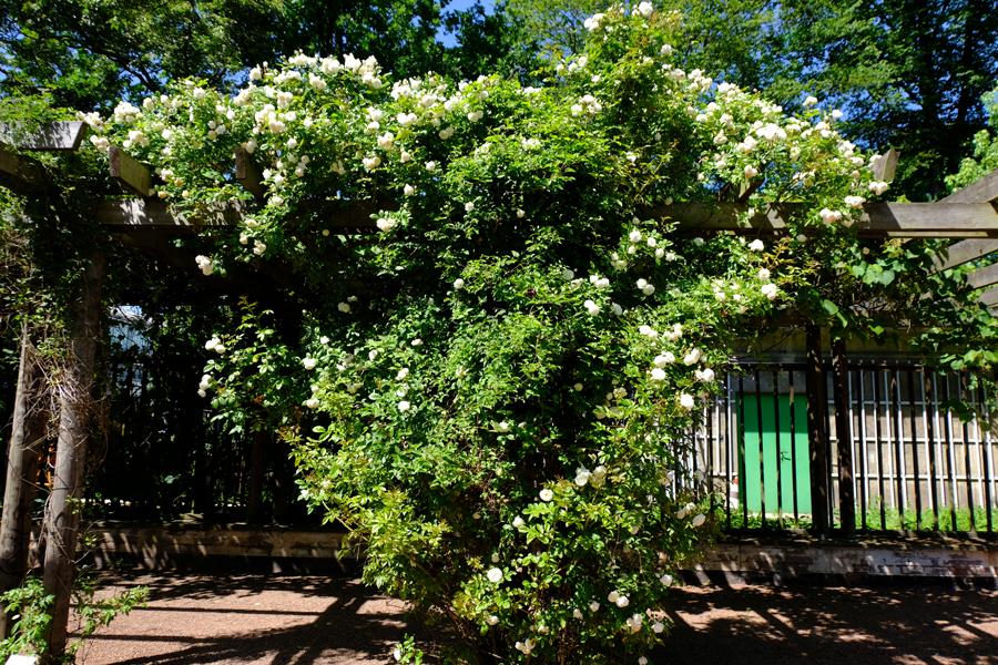 Rosengarten im Stadtpark Hannover